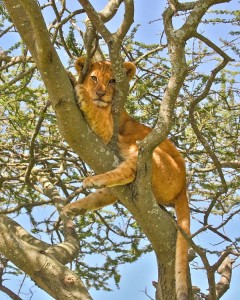 Lion cub up a tree in Serengeti National Park, Tanzania.