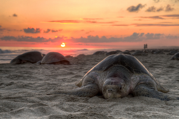 Tortues Costa Rica